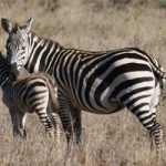 why zebras don't get ulcer