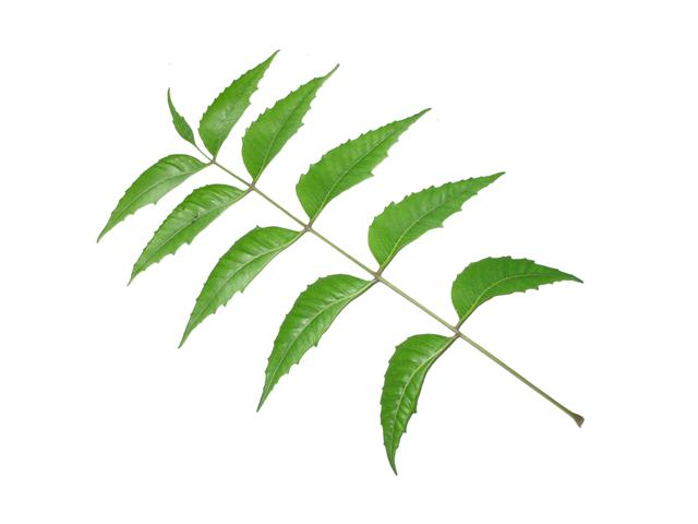 essay on neem leaf in hindi